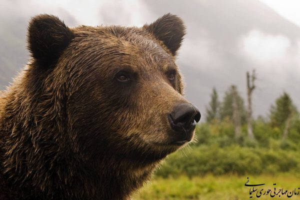خرس گریزلی کاتزیماتین