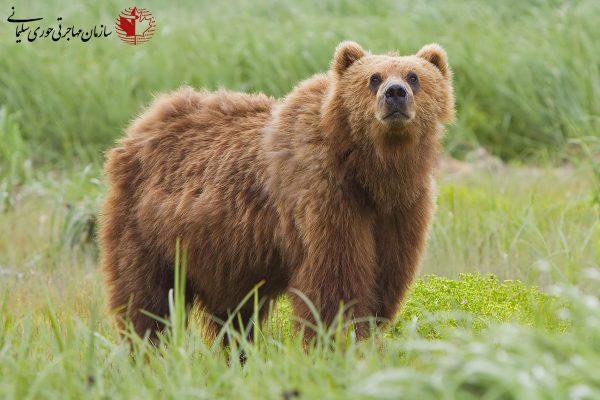 کلونا کانادا - خرس گریزلی